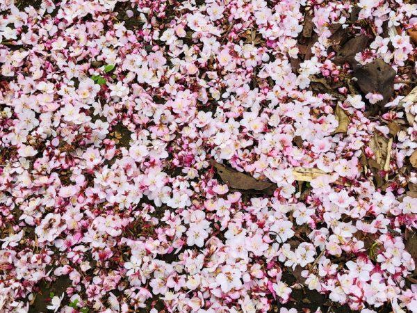等々力渓谷公園 日本庭園の桜
